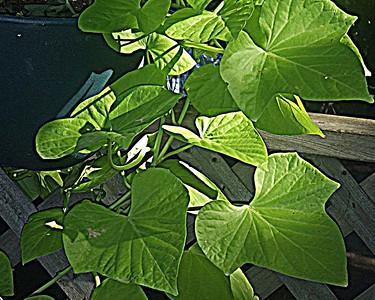 Sweet Potato Vine on the Deck
